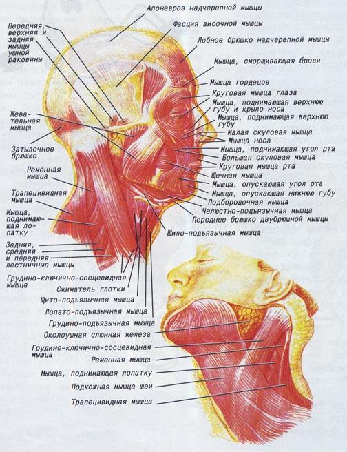 мышцы шеи фитнес