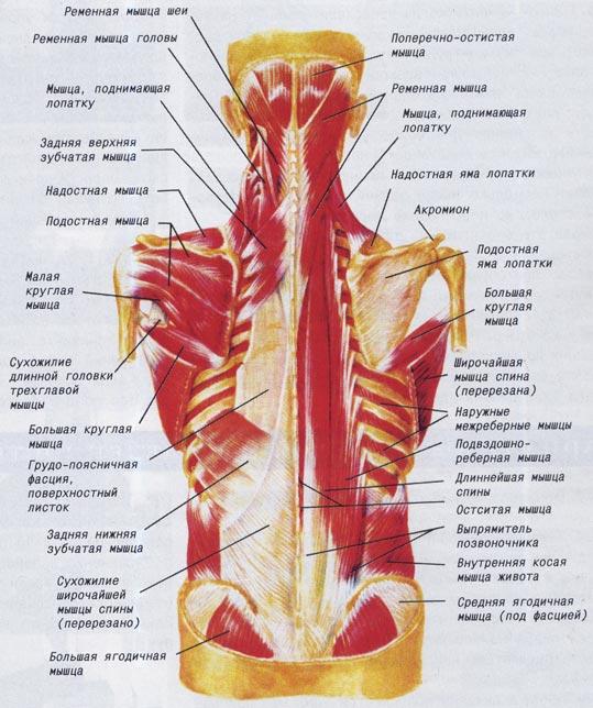 Мышцы спины и заднего отдела